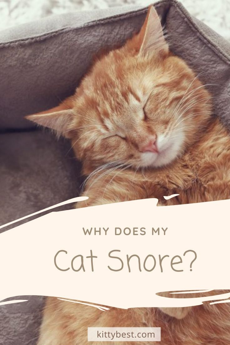 Why Does My Cat Snore 8 Causes Solutions Cats Cat Care Cats And Kittens