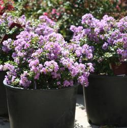 Lagerstroemia indica hybrid Violet Filli Fleming Filligree Crapemyrtle™ from Flemings Flower Fields