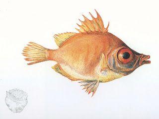Boar Fish, I believe.
