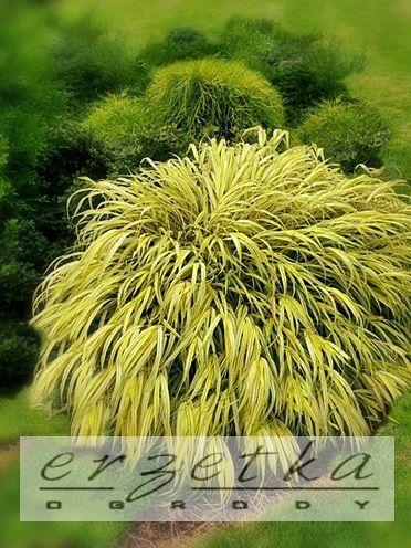 Hakonechloa odm. Aureola - złota C2 Hakonechloa macra 'Aureola' sadzonki w pojemnikach C2  wysokość oferowanej sadzonki w cm: 10-20  wielkość pojemnika: C2 Duże rozrośnięte  zastosowanie do ogrodów: rabaty bylinowe, kolekcje traw, pojemniki,   dekoracyjność:Liście łżote przewieszające się. Należy do traw kaskadowych.  stanowisko/uprawa:Trawa ozdobna łatwa w uprawie.Dobrze rośnie na większości przeciętnych gleb ogrodowych, z wyjątkiem bardzo jałowych i suchych oraz skrajnie wilgotnych. Do…