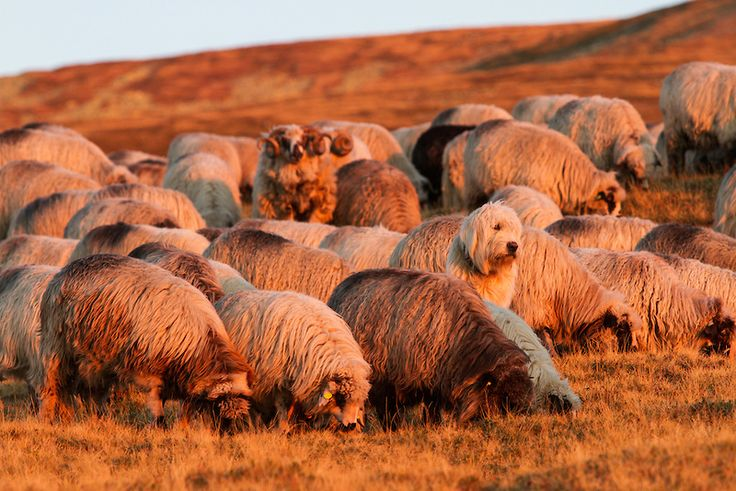 A Romanian Mioritic Shepherd Dog and his sheep. Can you spot him?