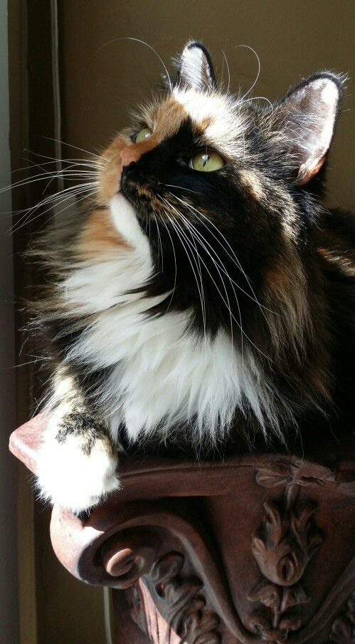 My beautiful Calico cat. Her name is Turtle.  #princess