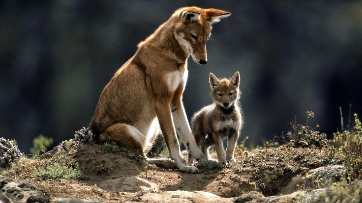 This Ethiopian hotspot is home to more native species – including the rare Ethiopian wolf – than any other area of comparable size on the planet.