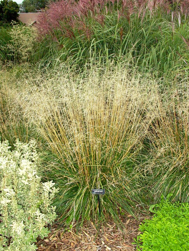 Tufted hair grass ornamental grasses pinterest for Short ornamental grasses landscape