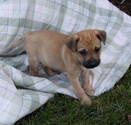 I NEED this pup!!! Beagle boxer mix