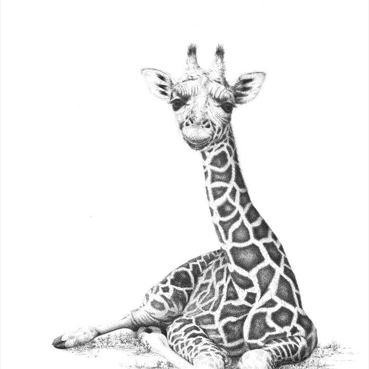 """Artwork - young Rothschild Giraffe """"Marlon"""" - Open Edition fine art print from my original pen and ink drawing. by DaisyClaridge on Etsy"""