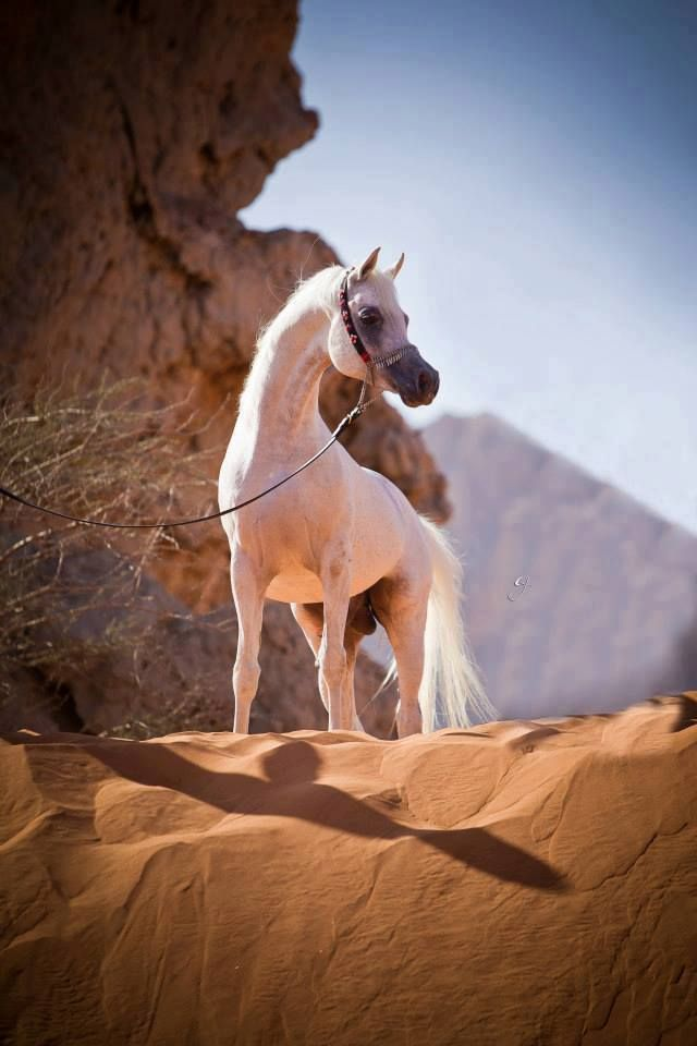Grey Arabian on sandstone cliff ( looks like Jordan )