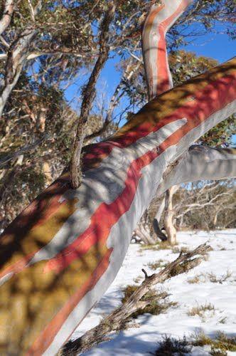 Snow gum forest in Alpine National Park, Victoria, Australia