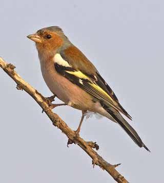 Peippo, Fringilla coelebs - Linnut - LuontoPortti