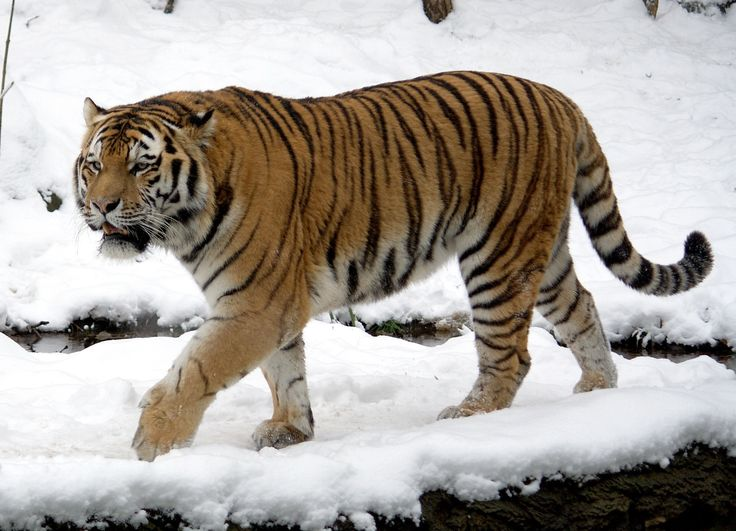 Tiger Goes Through The Snow Image HD