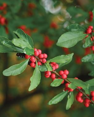 19 best nandina images on pinterest landscaping ideas evergreen shrubs and front yards - Planting fruit trees in the fall a garden full of vigor ...