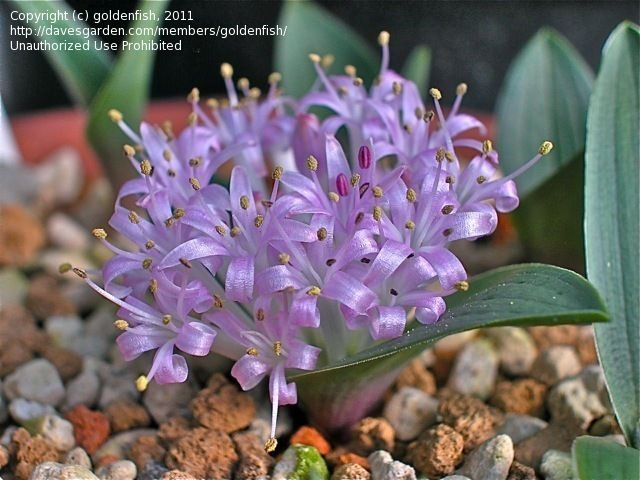 Bloom for Apr. 3, 2012: Polyxena ensifolia. Photo by goldfish.