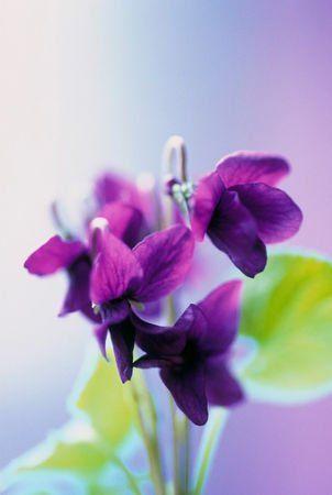 Viola: Mindig szép leszel számomra! Az ibolya (Viola) az ibolyafélék családjának névadó és egyben legnagyobb nemzetsége mintegy négyszázötven fajjal.