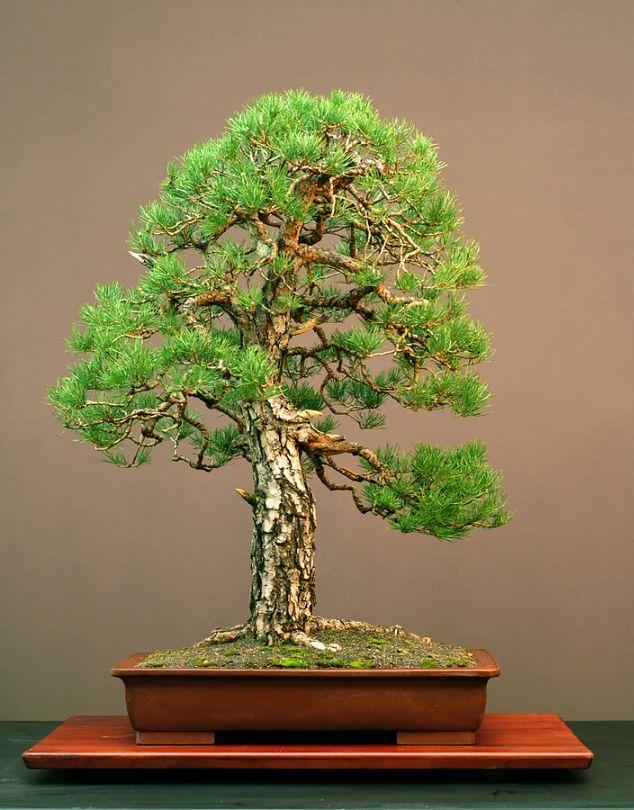 Image detail for -Pine Bonsai Japanese Bonsai Garden