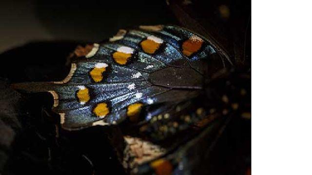 GENIO Italiano Giuseppe Cotellessa: Ridipingere le farfalle si può, grazie a CRISPR / ...