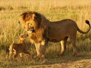 Asiatic lion population is increasing phenomenally
