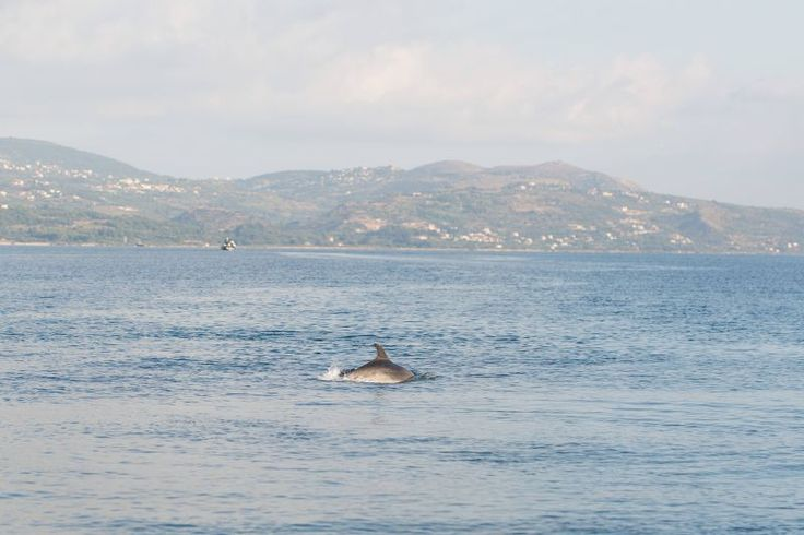 Dolphins in the Kefalonian waters
