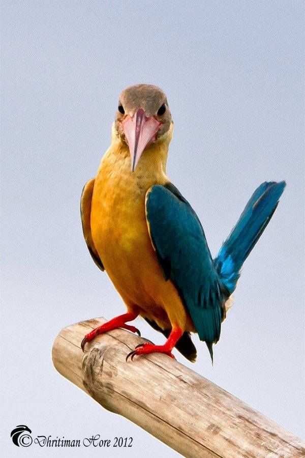 Stork-billed Kingfisher (South East Asia)