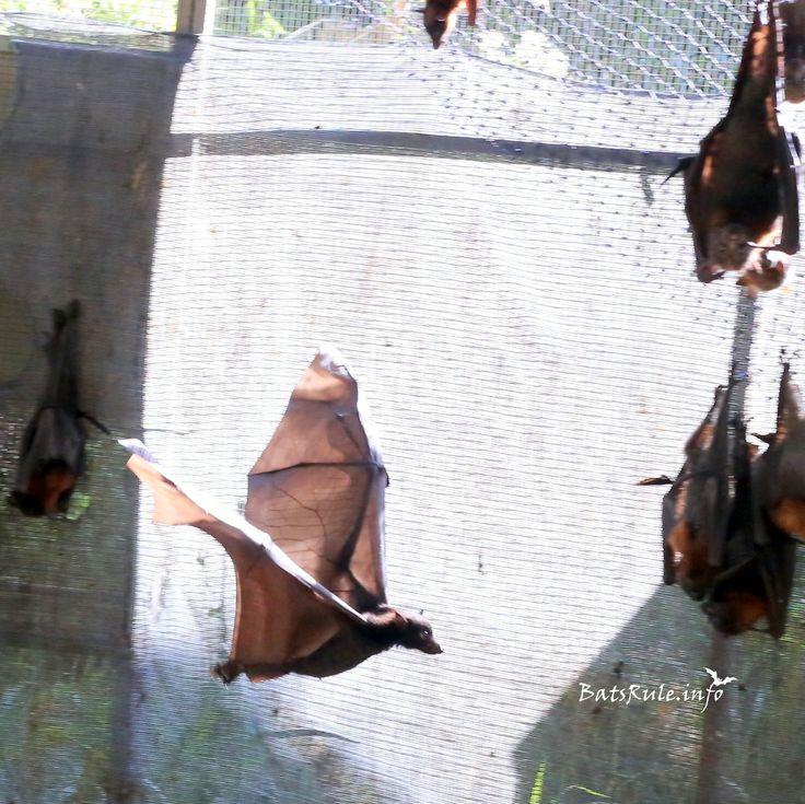 Rehab Megabat Little Reds flying 18/02/2017 Flying-fox Fruit Bat  Handheld, low light, DSLR Canon 6D 50mm lens (testing)  More Pics.. http://www.batsrule.info/2017/02/rehab-megabat-little-reds-flying.html