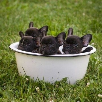 Baby French Bulldogs Bath Time! ha ha ha ha ha ha ha ha ha ha ha:-) Limited Edition French Bulldog Tee http://teespring.com/lovefrenchbulldogs Limited Edition French Bulldog Tee