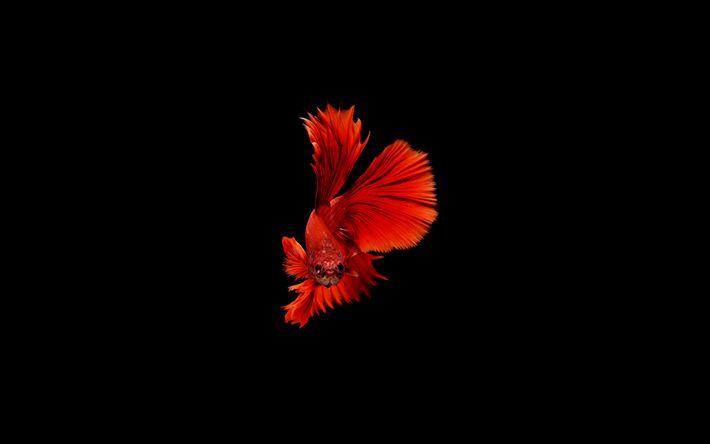 Herunterladen hintergrundbild gold-fisch, schwarzer hintergrund, minimsl, goldfisch