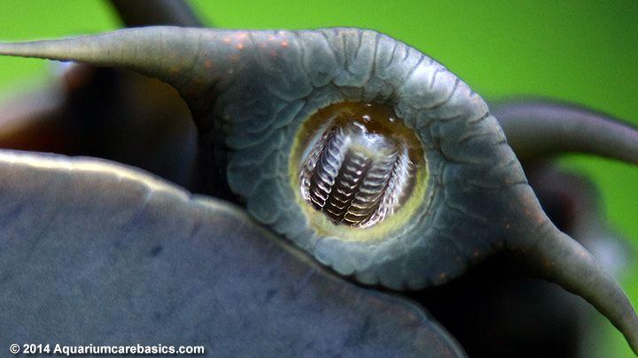 Best 25 aquarium snails ideas on pinterest how to fish for Fish tank snails