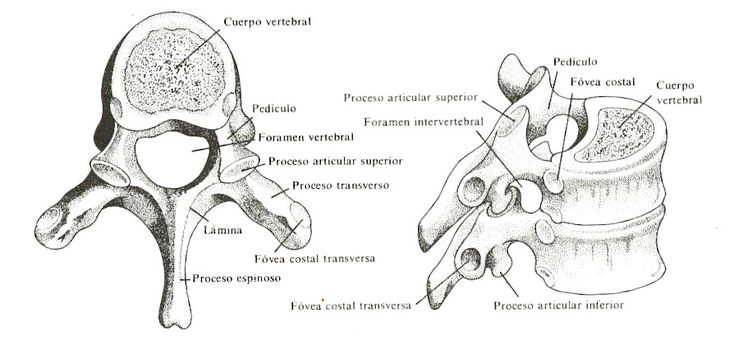 veterinaria  anatomia  a collection of ideas to try about