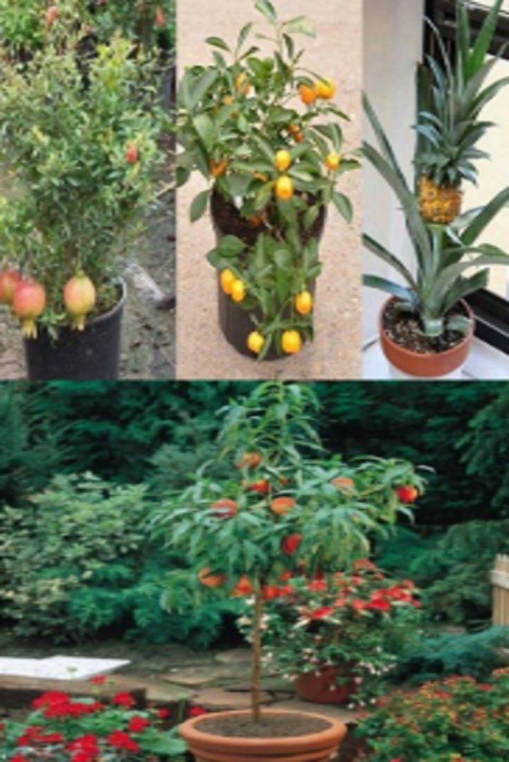 Fruit Trees You Can Grow In Pots Easily Video Gardening Ideas Fruit Amazing Diy Potted Trees Fruit Trees Fruit Trees In Containers