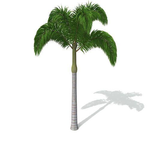 XfrogPlants Foxtail Palm