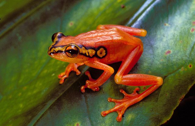 Spotted reed frog (Hyperolius puncticulatus) #frog #amphibian #nature