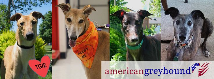 Rescuing Greyhounds