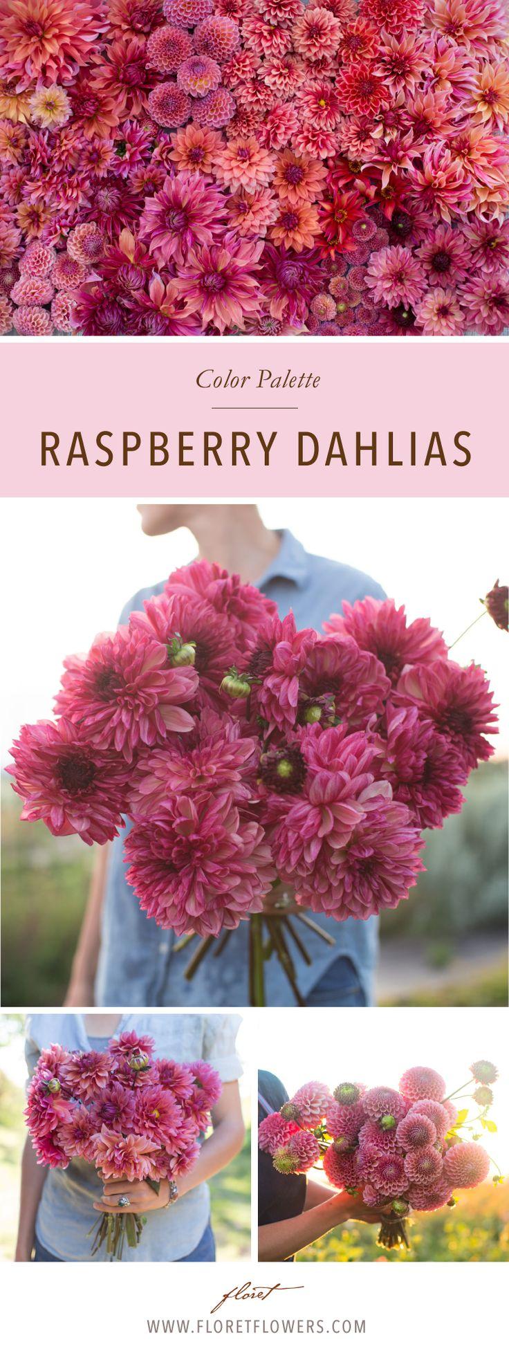 Floret's favorite dahlias in raspberry hues include:  Jowey Winnie, Mystique, Labyrinth, Penhill Dark Monarch, Koko Puff, Bacardi, Waltzing Mathilda Bracken Rose, Sonic Bloom.