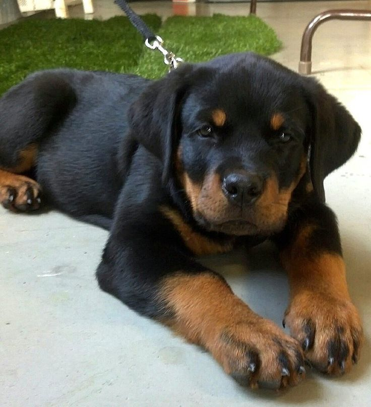 A community of Rottweiler lovers!