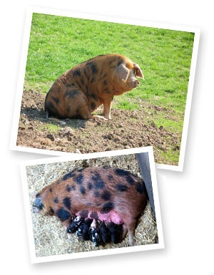 Oxford Sandy and Black pigs are one of two rare British breeds reared on the island. Like the Saddleback, they are renowned for producing pork of an exceptional quality