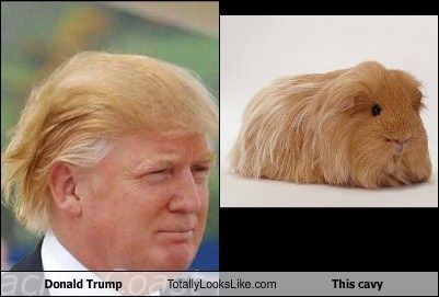 Donald Trump Totally Looks Like This Cavy
