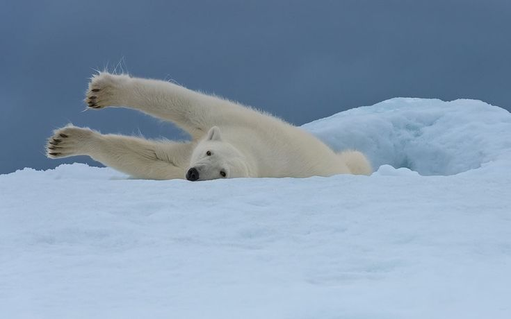 Polar bear stretching on the iceberg along Spitsbergen coast. Svalbard, Norway.
