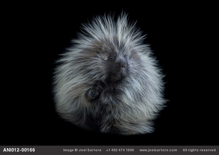 The Common Porcupine (Erethizon dorsatum) is the only native North American mammal with antibiotics in its skin. Those antibiotics prevent infection when a porcupine falls out of a tree and is stuck with its own quills upon hitting the ground. Porcupines fall out of trees fairly often because they are highly tempted by the tender buds and twigs at the ends of the branches. via http://en.wikipedia.org/wiki/North_American_Porcupine   Photo by joelsartore #Porcupine #joelsartore #wikipedia
