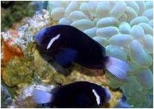 We have a good collection of captive bred, as well as hand-collected, Anemonefish, also known as Clown fish. Juveniles, sub-adults, and adults; plus bonded and breeding pairs of most types of Clown...