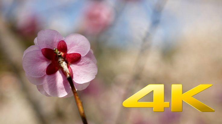 Hachioji Kogesawa Bairin Plum Blossom - 木下沢梅林 - 4K Ultra HD