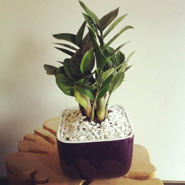 ZZ plant in small pot | Zz plant | Pinterest | Plants