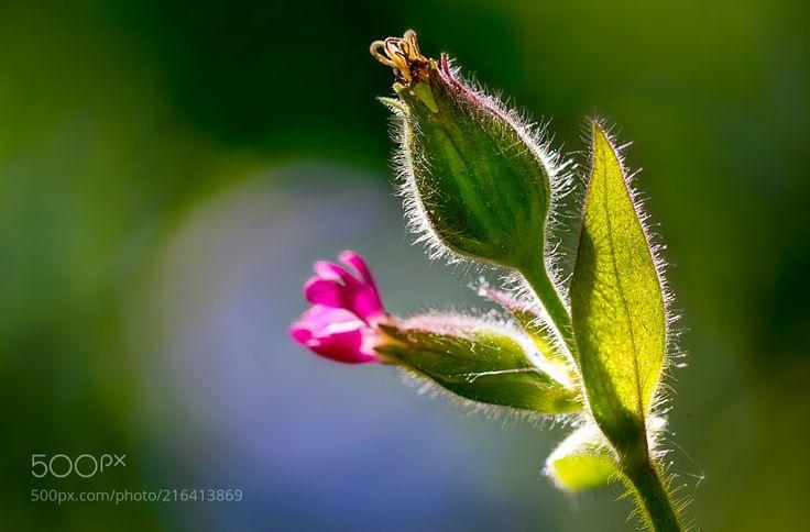 Rote Lichtnelke - Blume im Wald Rote Lichtnelke