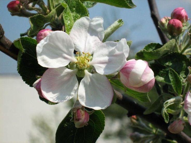 kvety čerešne - Hľadať Googlom