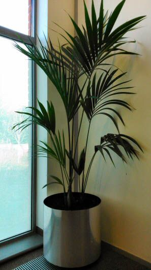 70 best images about house plants on pinterest plants wandering jew and jewel orchid - Best large houseplants ...