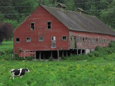 .: Red Barns With Cows, Dairy Cows, Weather Barns, Barns Things, Lonely Cows, Faded Red, Barns Loft, Barns Old, Old Barns