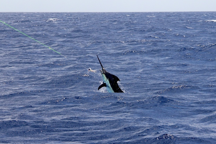 13 best blue marlin images on pinterest blue marlin big for Marlin fishing charters