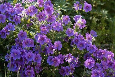 Online flower identification guide hardy geranium for Purple flowering shrubs identification