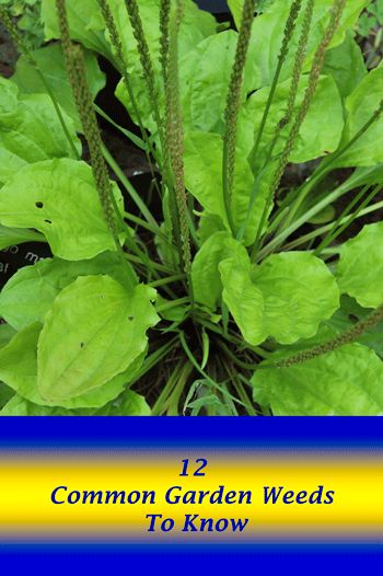 12 Garden Weeds To Know ~ I.D. Your common garden weed.  Are they really good/bad for your garden?