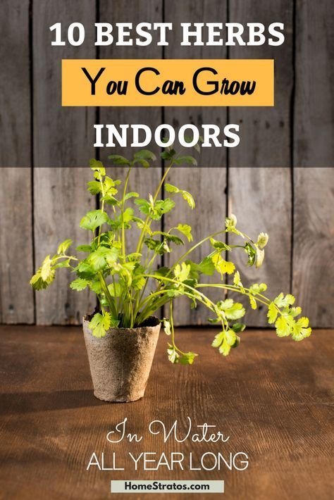 Best herbs you can grow indoors in water all year round. Start your own organic herb garden at home today!