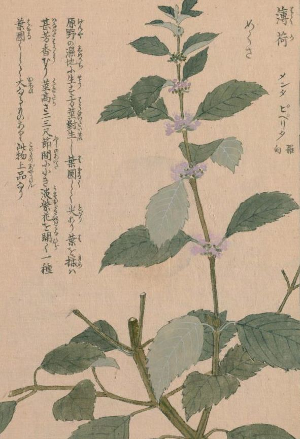 西洋薄荷(ペパーミント) Peppermint Mentha x piperita L. 本草図譜  岩崎 灌園, Honzo-Zufu, KanEn Iwasaki (1830)