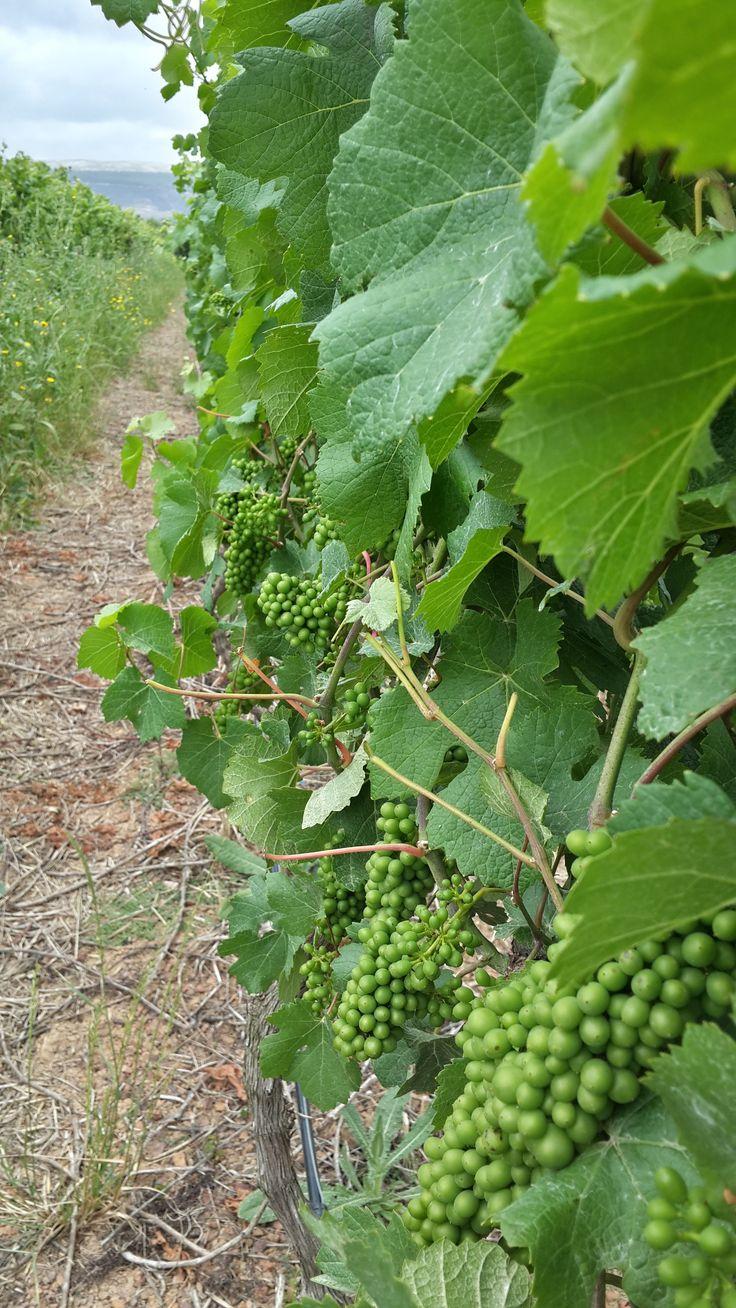 Highlands Road Wine Harvest 2015
